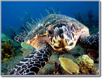 tortue-martinique