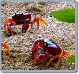 touloulou-crabe-martinique